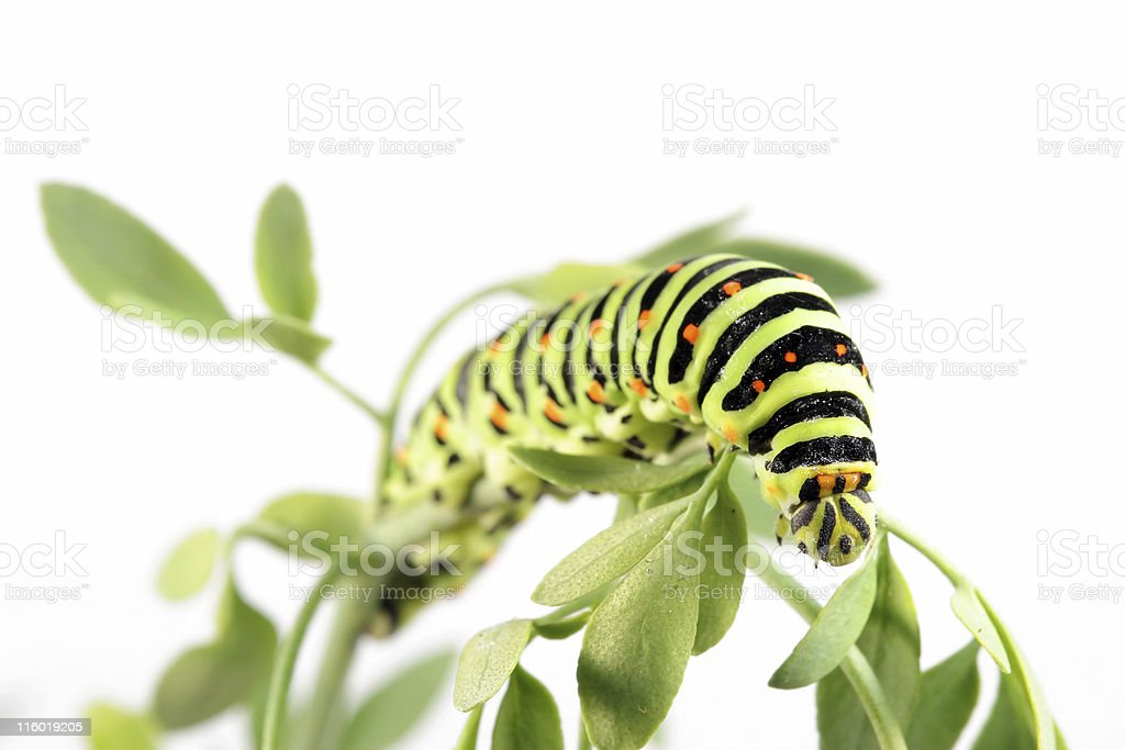 Swallow tail butterfly caterpillar 08 royalty-free stock photo