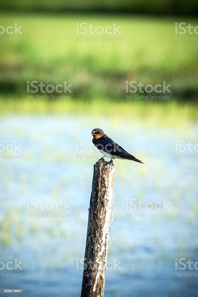 Swallows on a stump stock photo