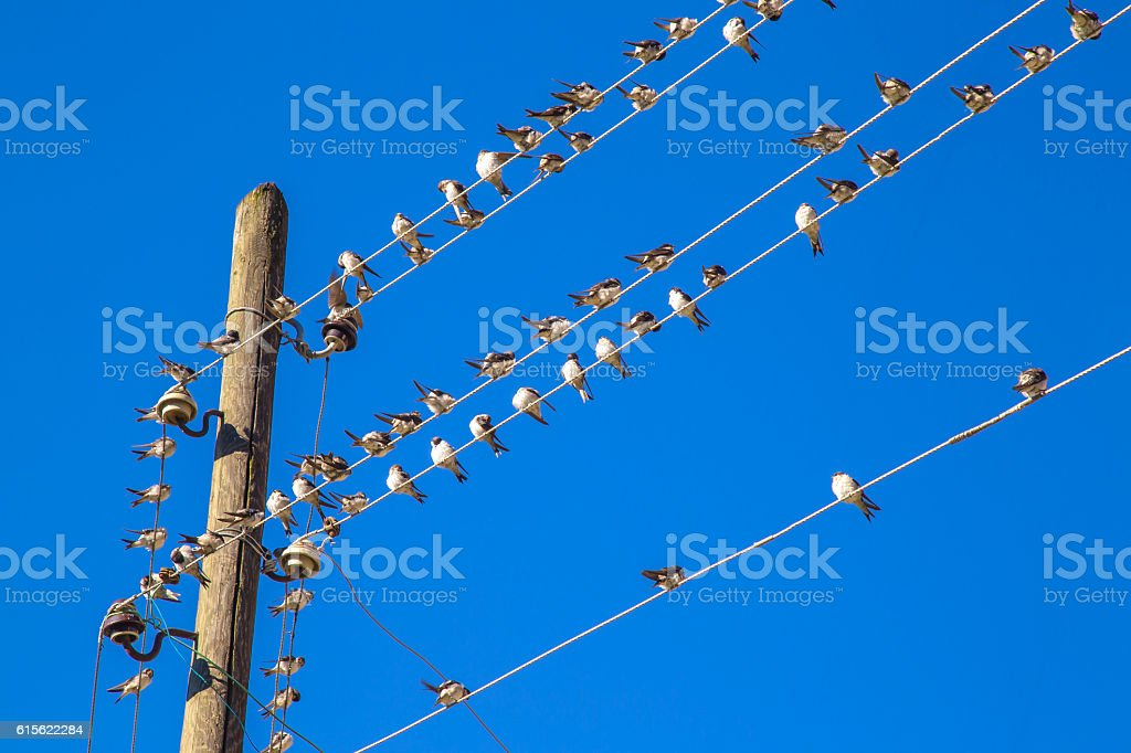 Swallows on a wire royalty-free stock photo
