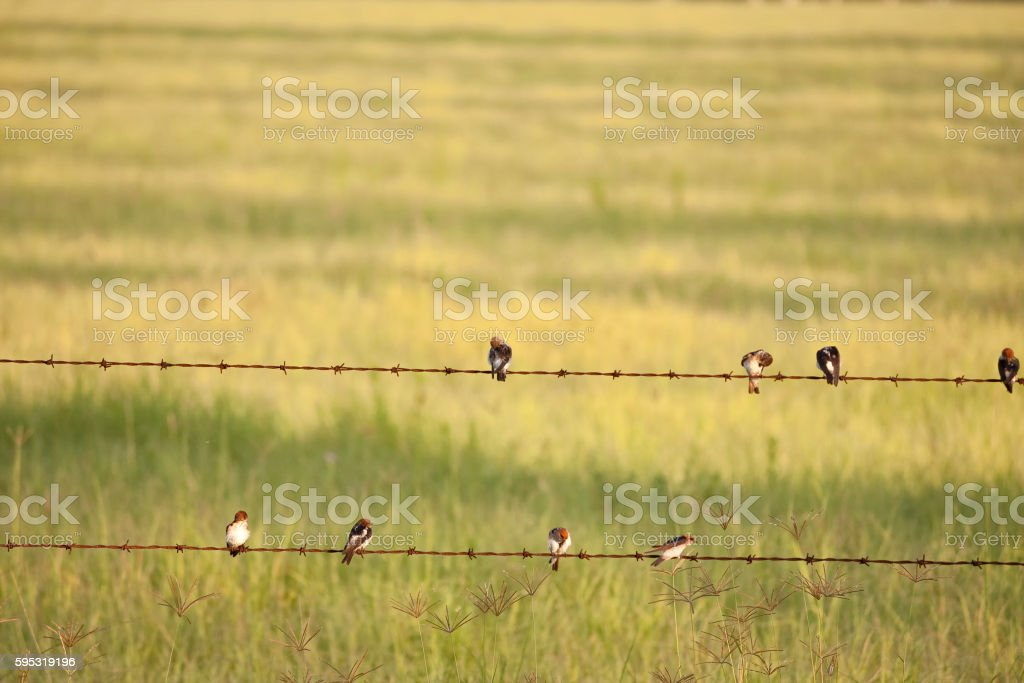 Swallows on barbed wire fence stock photo