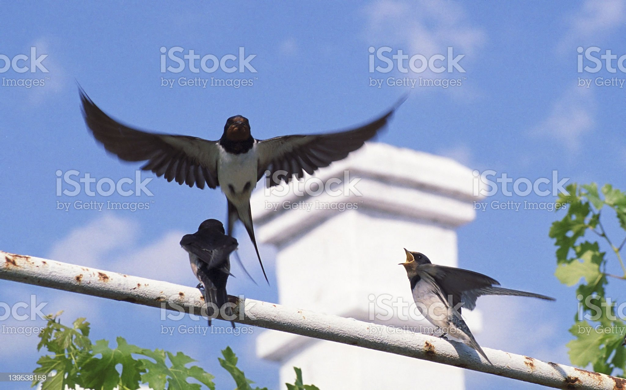 Swallows royalty-free stock photo