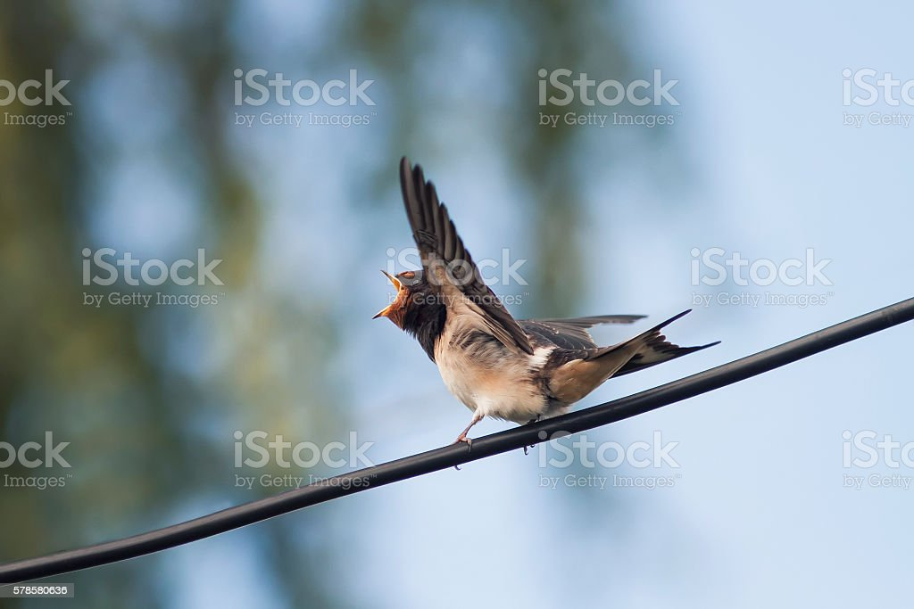 swallows sitting on a wire waiting for parents stock photo