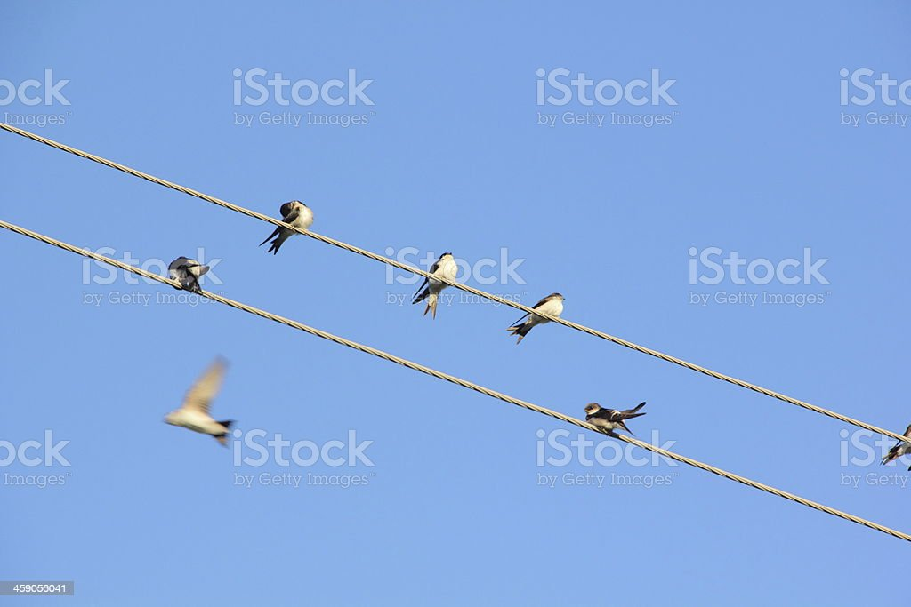 Swallows. Wire. stock photo