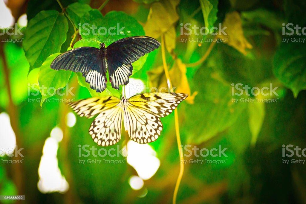 Swallowtail butterflies stock photo