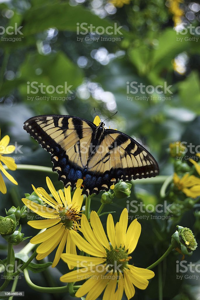 Swallowtail Butterfly and Yellow Cup Flower stock photo