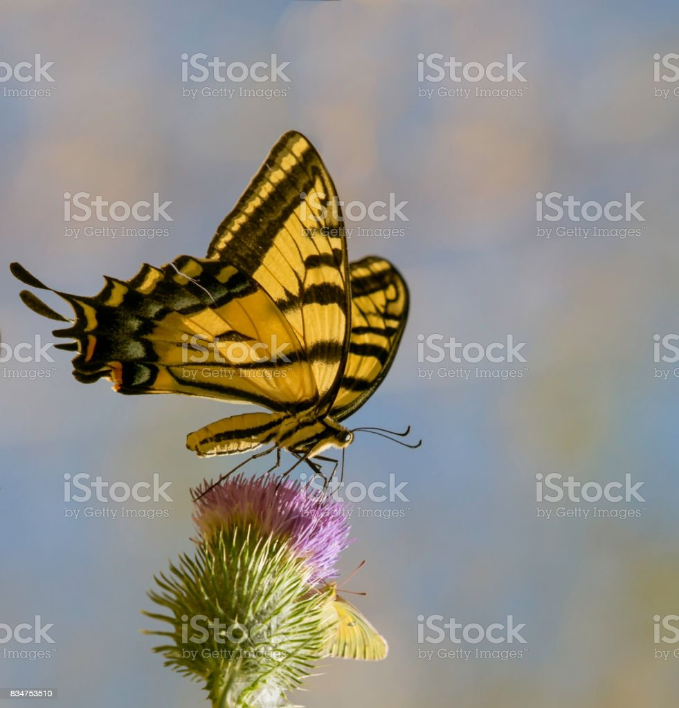 Swallowtail Butterfly Dream stock photo