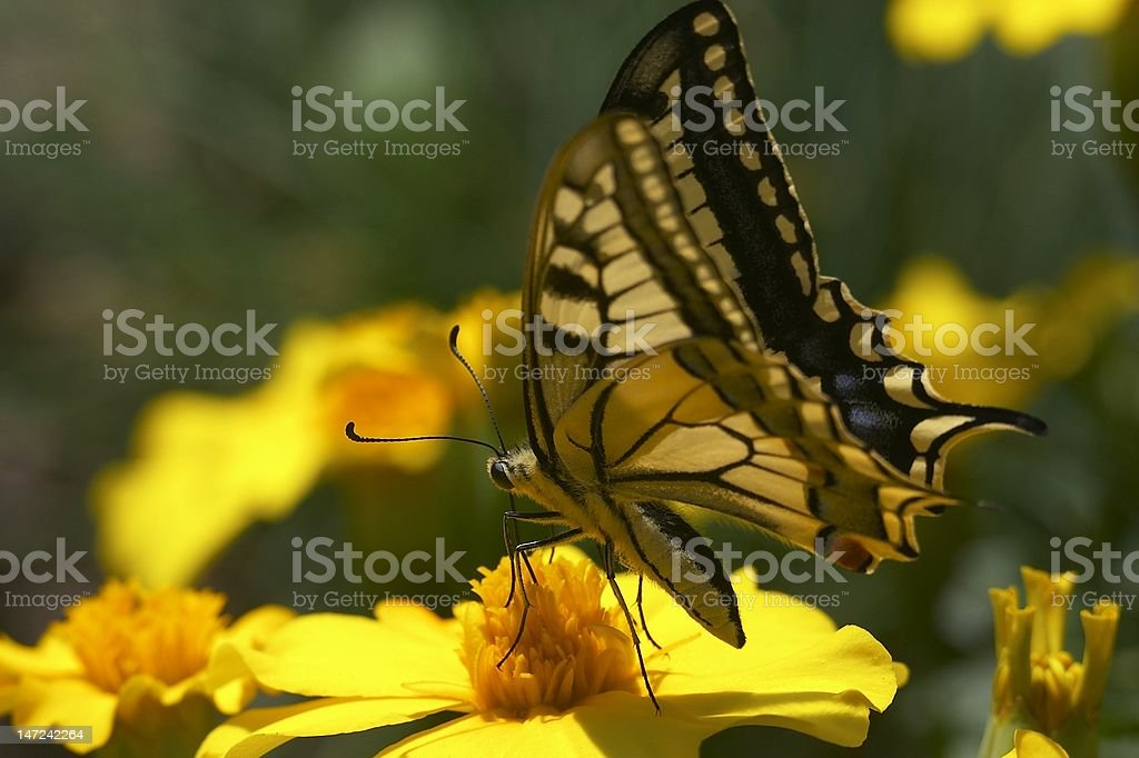 Swallowtail butterfly feeding royalty-free stock photo