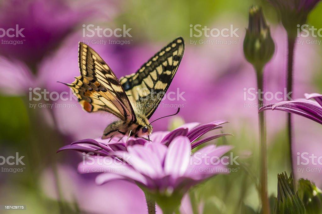 Swallowtail butterfly in a purple daisy field stock photo