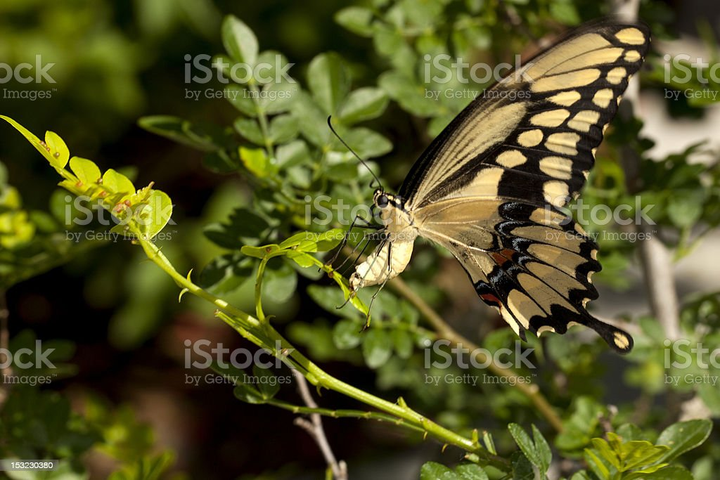 Swallowtail (Papilio Machaon) butterfly Laying Eggs stock photo