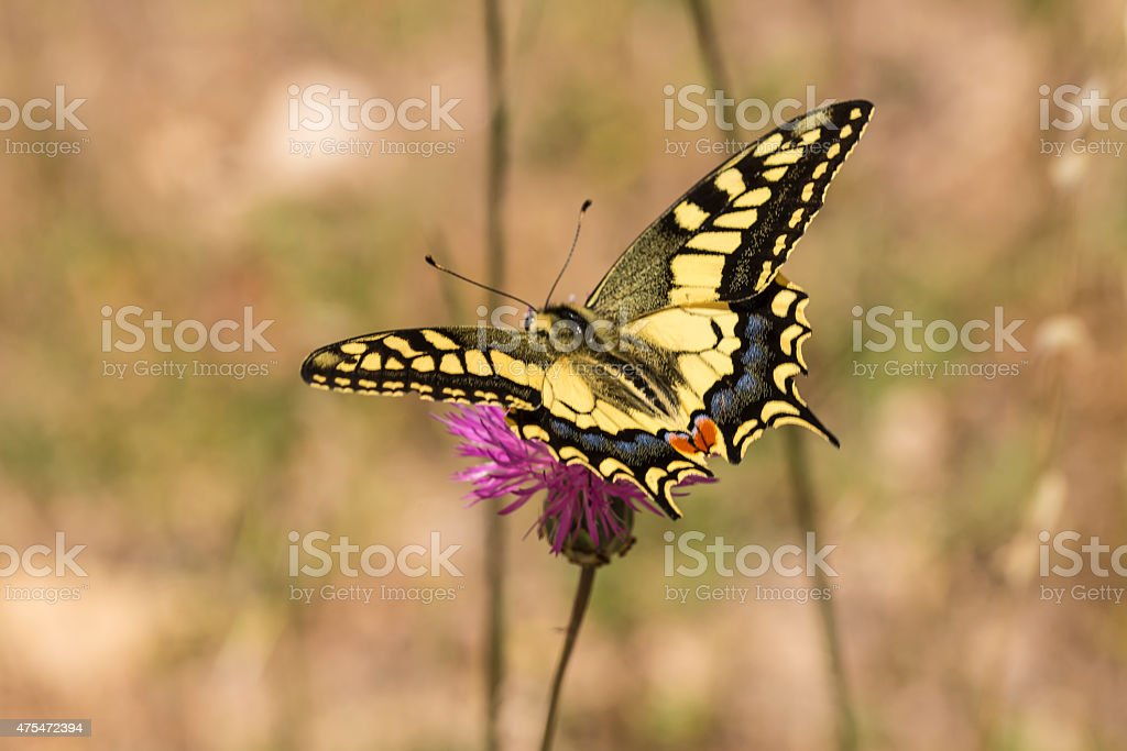 Swallowtail butterfly nectaring on knapweed royalty-free stock photo
