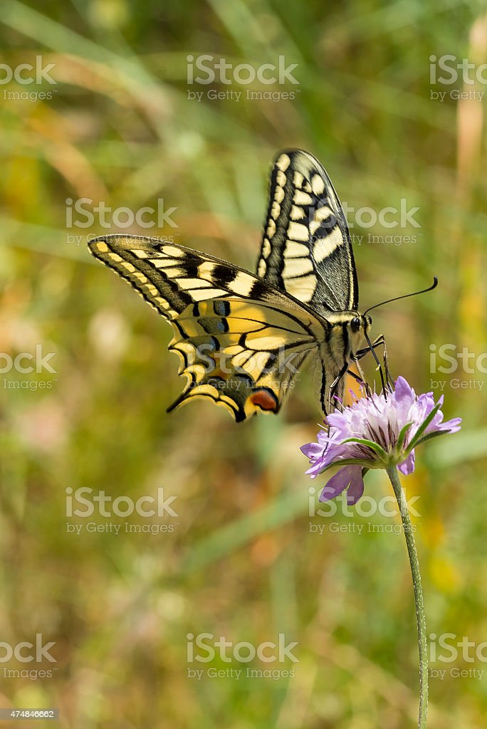 Swallowtail Butterfly Nectaring on Scabious royalty-free stock photo