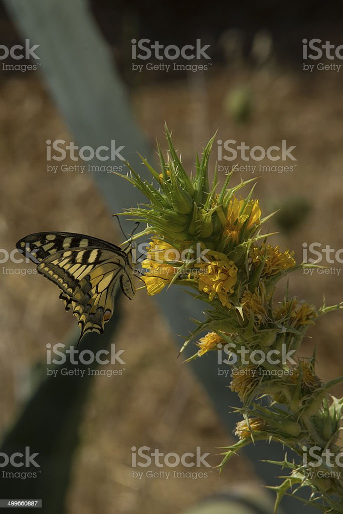 Swallowtail butterfly nectaring on Spanish Oyster Plant royalty-free stock photo