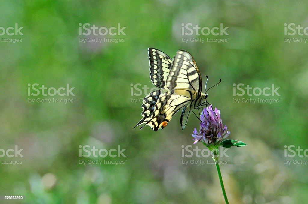 Swallowtail butterfly, Old World swallowtail. stock photo
