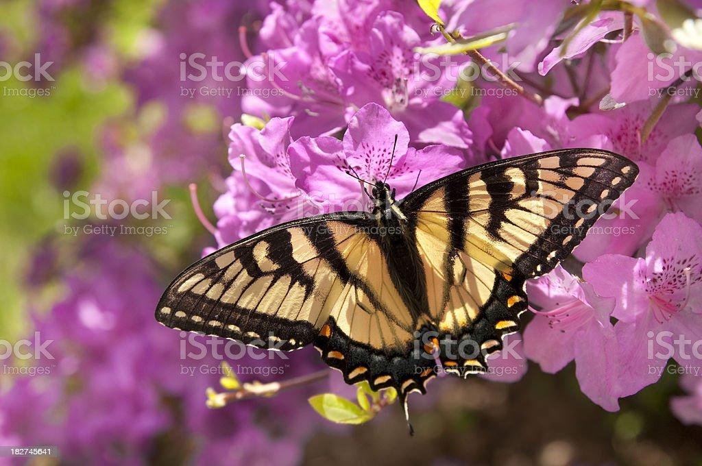 Swallowtail Butterfly on Azalea Bush stock photo