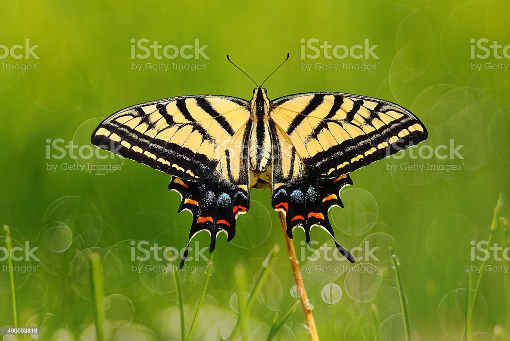 Swallowtail butterfly on green grass stock photo