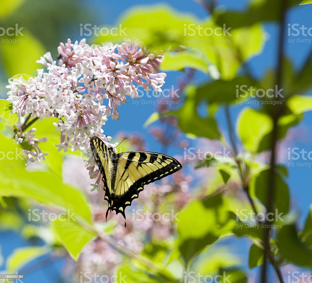 Swallowtail Butterfly on Lilac stock photo