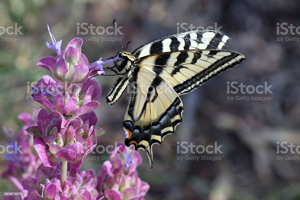 Swallowtail Butterfly On Purple Sage stock photo