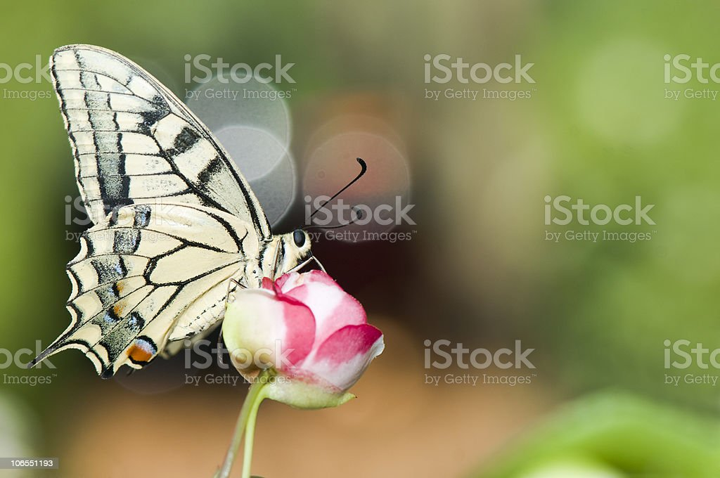 Swallowtail butterfly on red flower stock photo