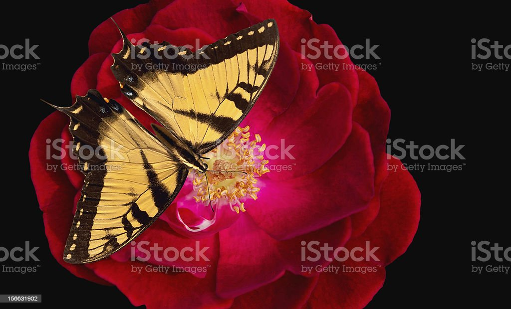Swallowtail butterfly on rose royalty-free stock photo