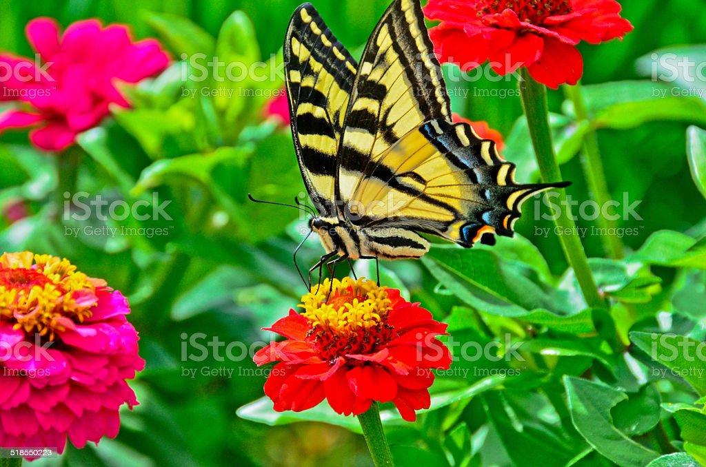 Парусник-бабочка на Цинния Стоковые фото Стоковая фотография