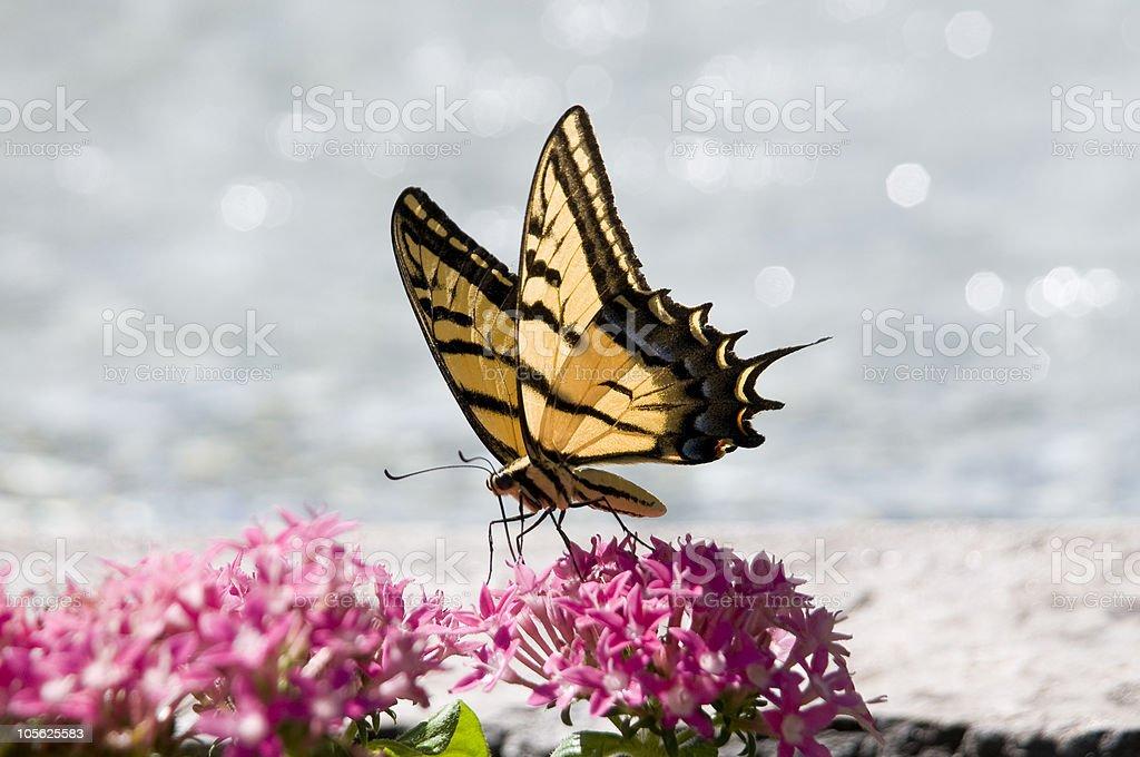 Mariposa cola de golondrina foto de stock libre de derechos
