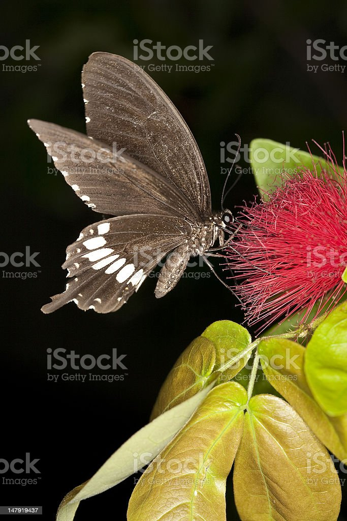 swallowtail butterfly stock photo