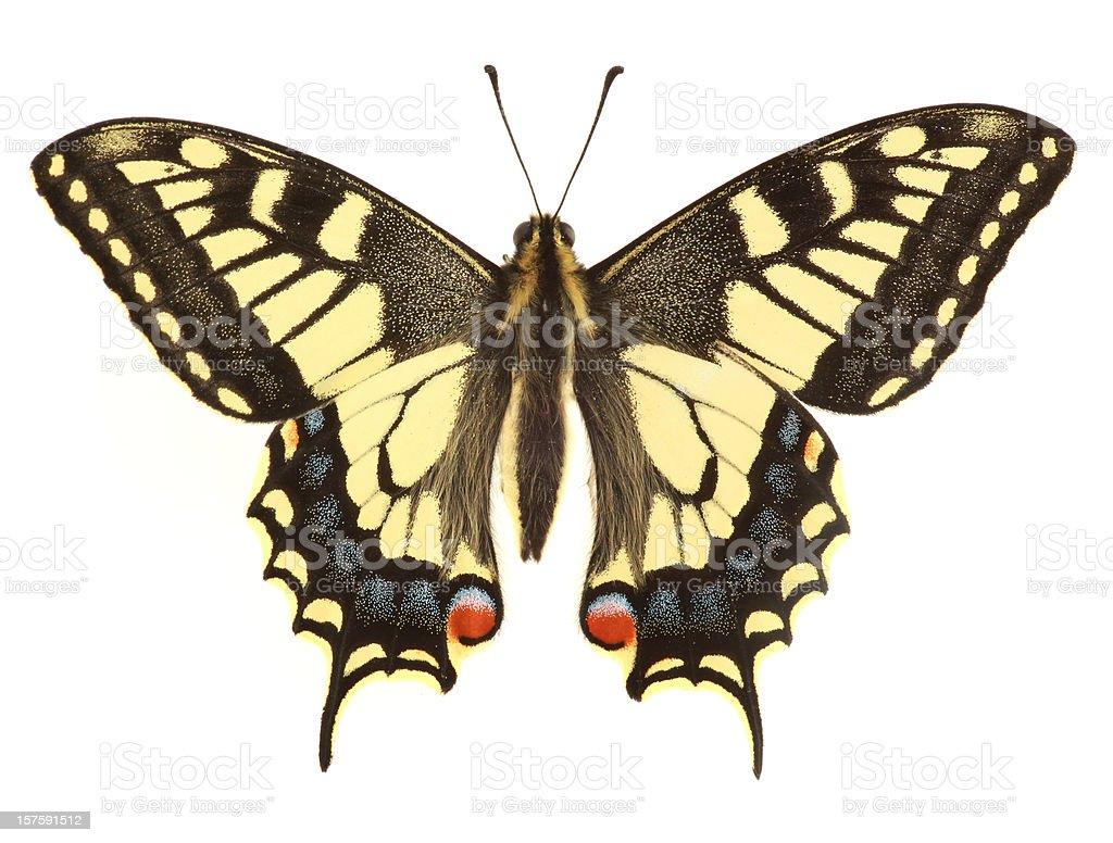 Swallowtail Butterfly (XXL) stock photo