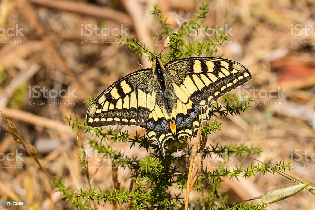 Swallowtail Butterfly with wings open royalty-free stock photo