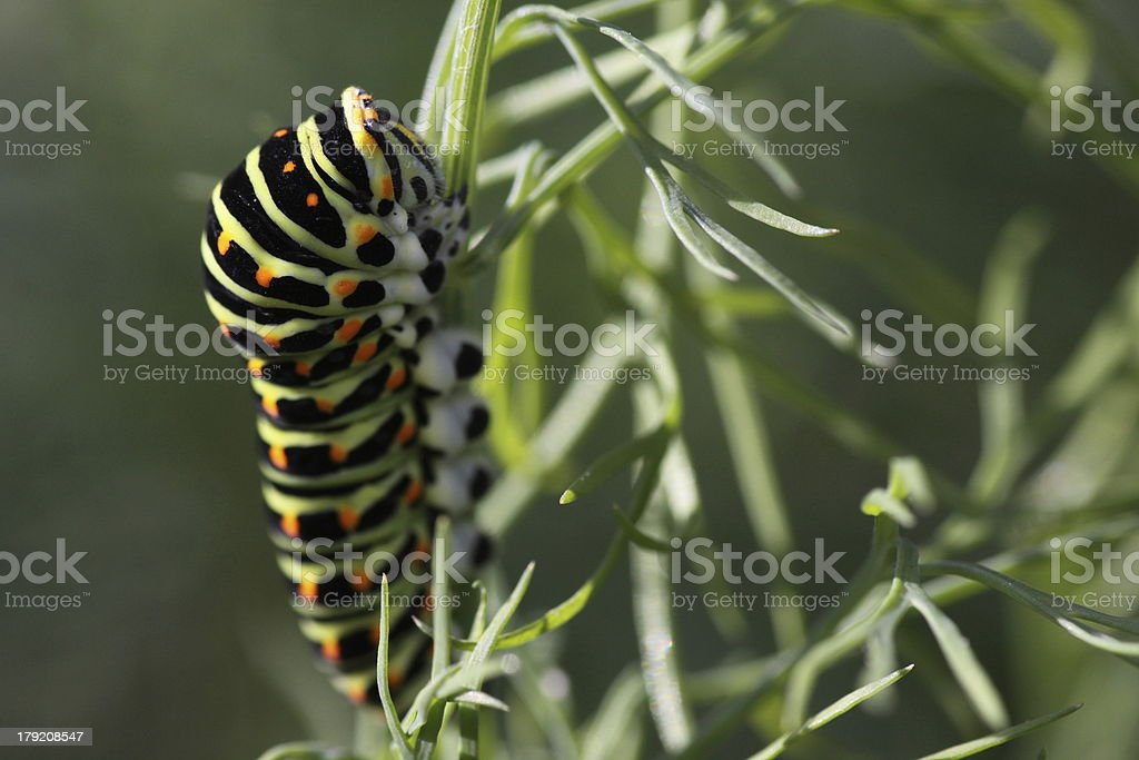 Swallowtail caterpillar on fennel royalty-free stock photo