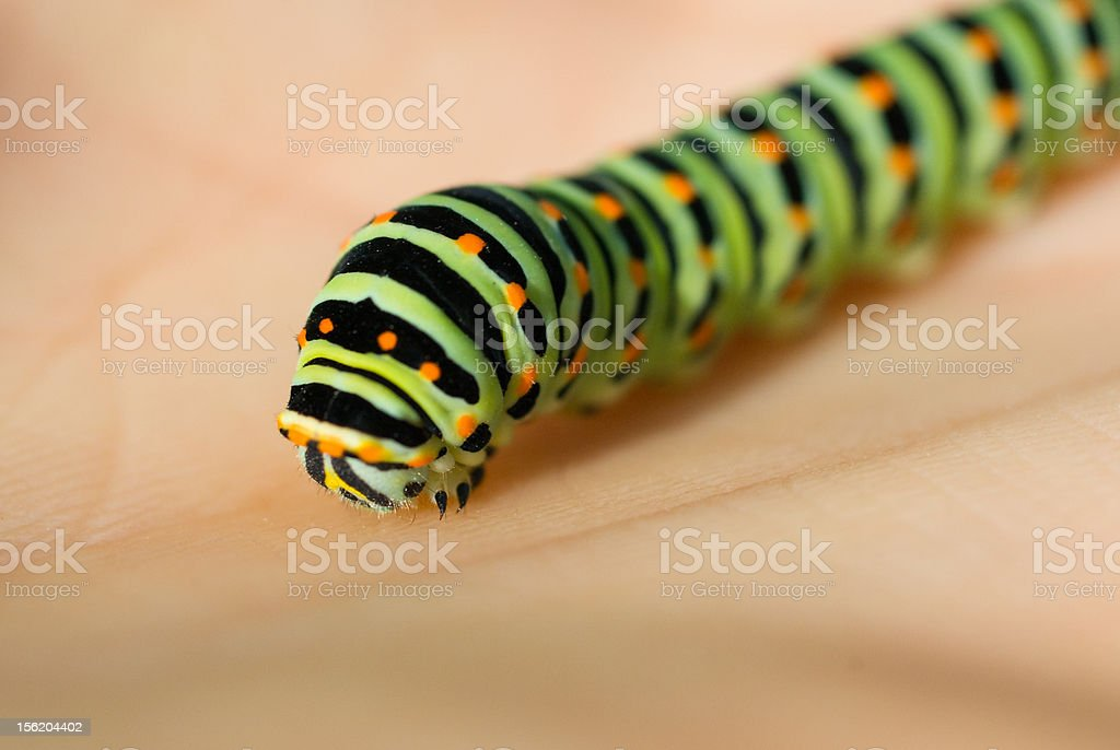 Swallowtail caterpillar on hand royalty-free stock photo
