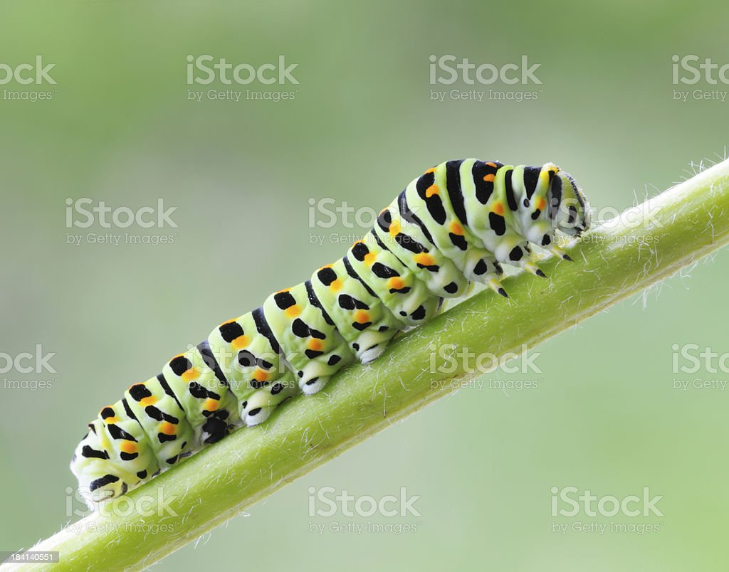 Swallowtail Caterpillar, Papilio machaor, Macro (XXXL) stock photo
