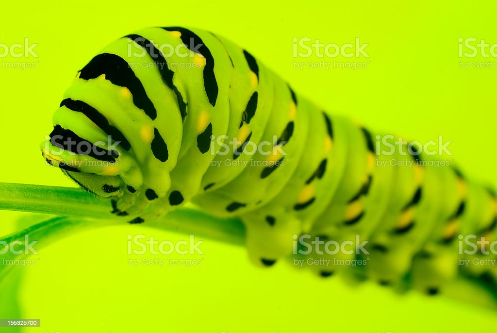 Swallowtail caterpillar stock photo