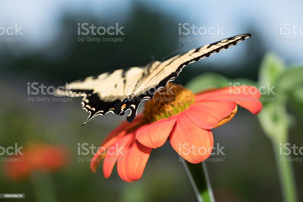 Swallowtail landing stock photo