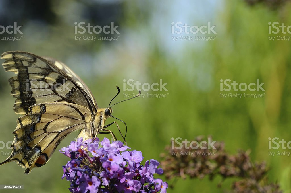 swallowtail large view stock photo