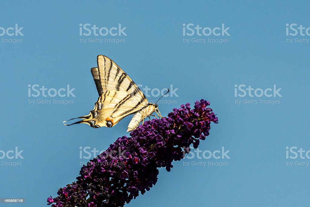 swallowtail on a lilac stock photo