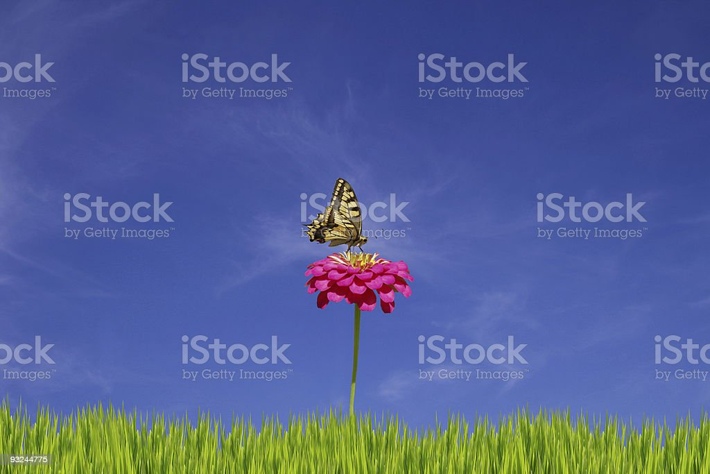 Swallowtail on daisy XXL royalty-free stock photo