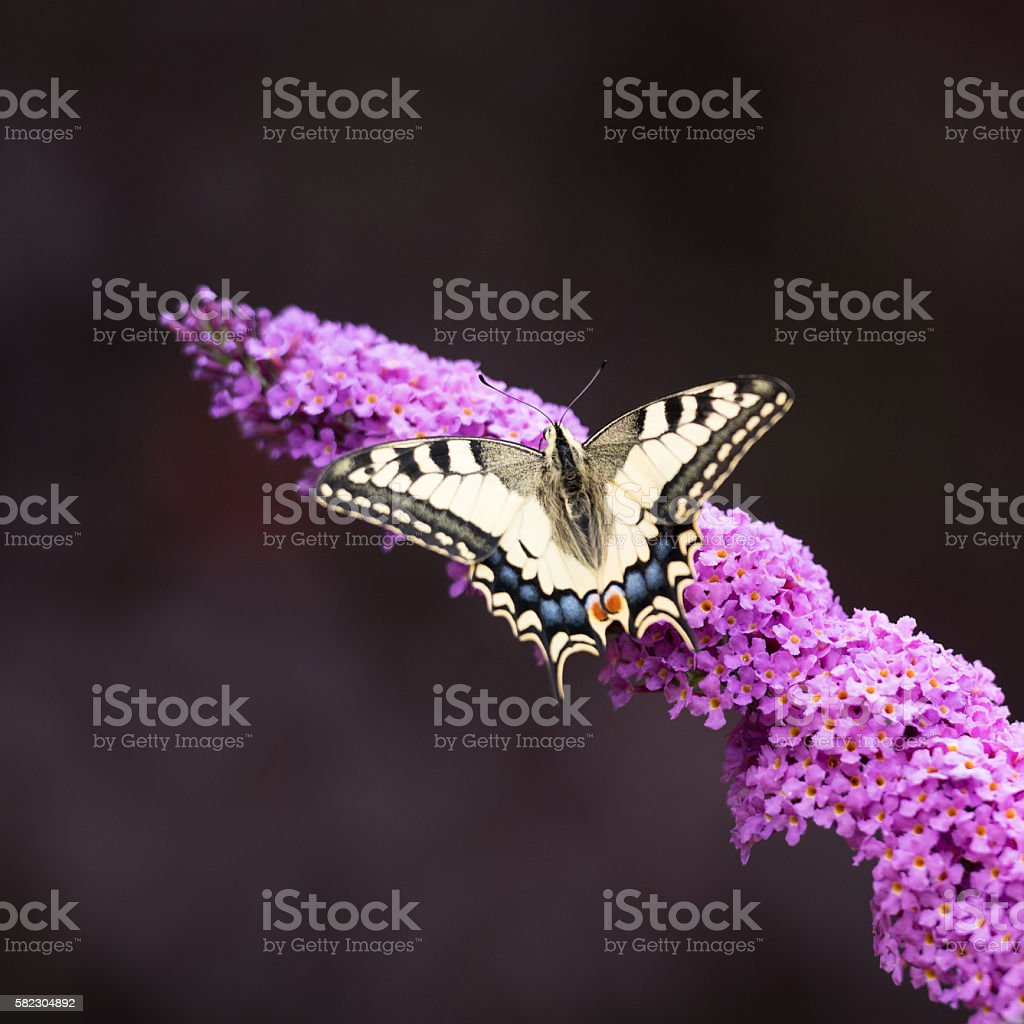 Swallowtail, Papilio Machaon Butterfly pollinating a Summer Lilac, Schmetterlingsflieder stock photo