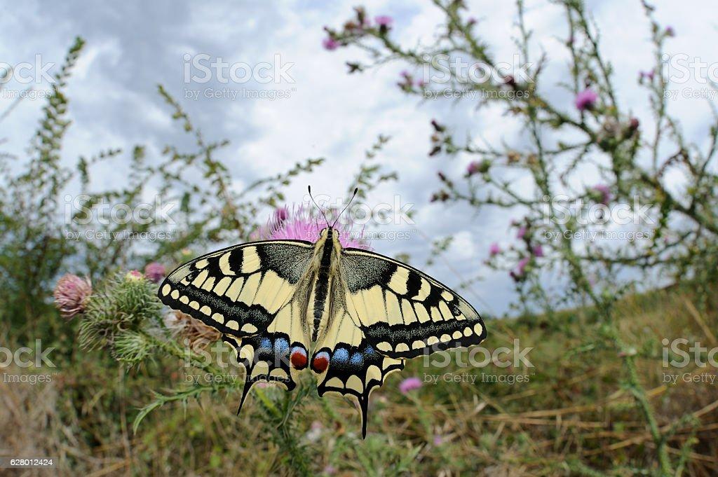 Swallowtail, Papilio machaon stock photo
