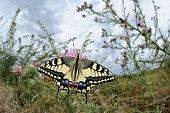 Swallowtail, Papilio machaon