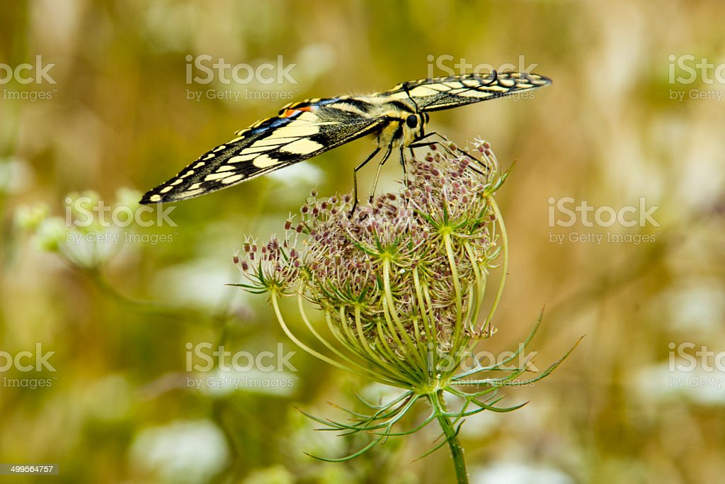 Swallowtail royalty-free stock photo