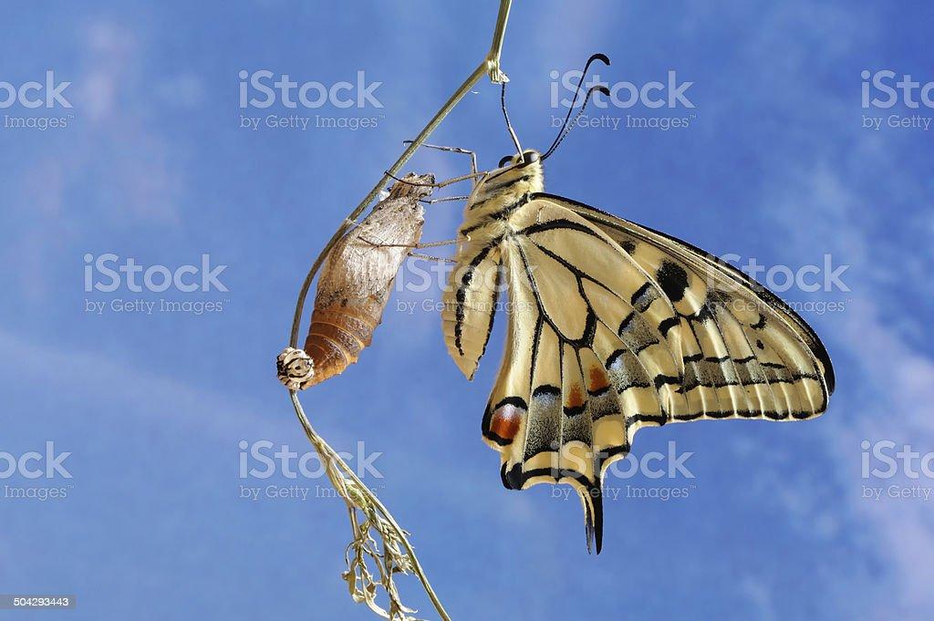 Swallowtail (Papilio machaon) stock photo
