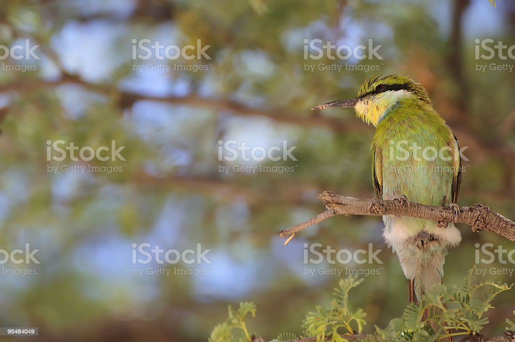 Swallow-tailed bee eater royalty-free stock photo