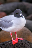 Swallow-tailed Gull on North Seymour island, Galapagos National