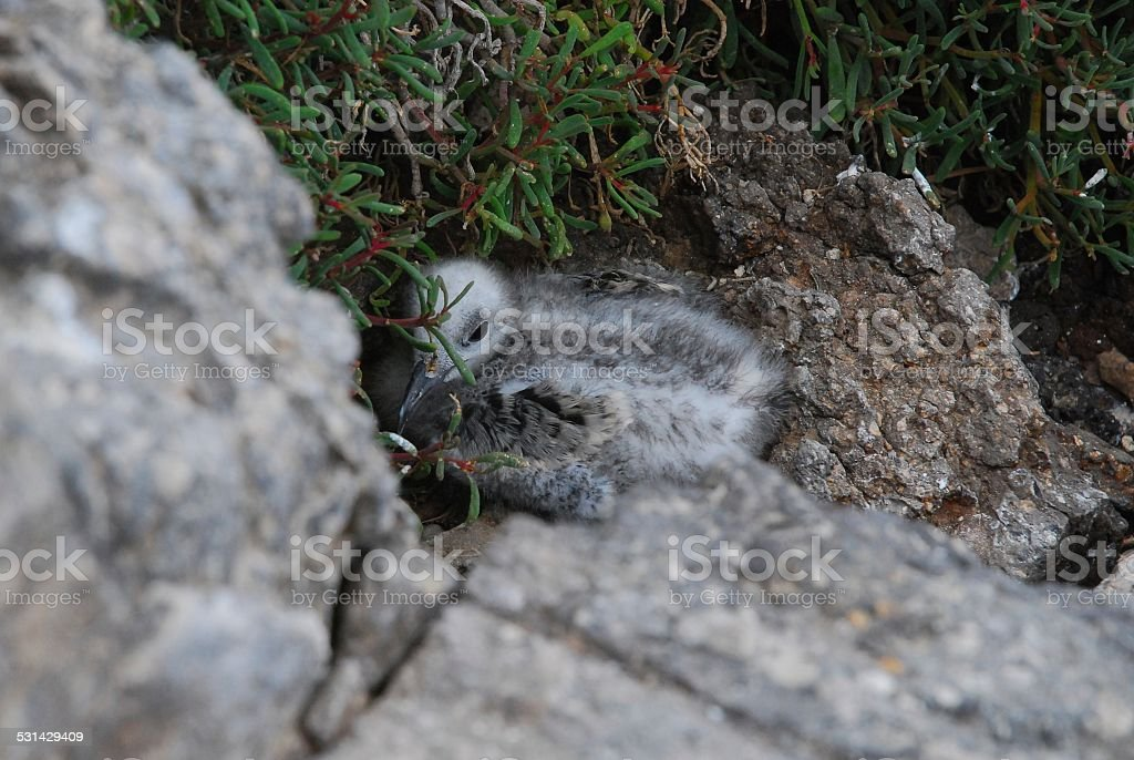 Swallow-tailed Gulls on Volcanic Rock royalty-free stock photo