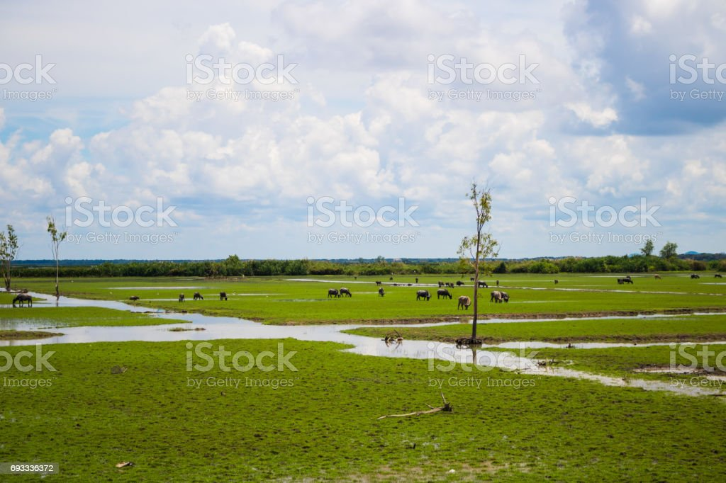 Swamp area and herd buffalo at South of Thailand stock photo