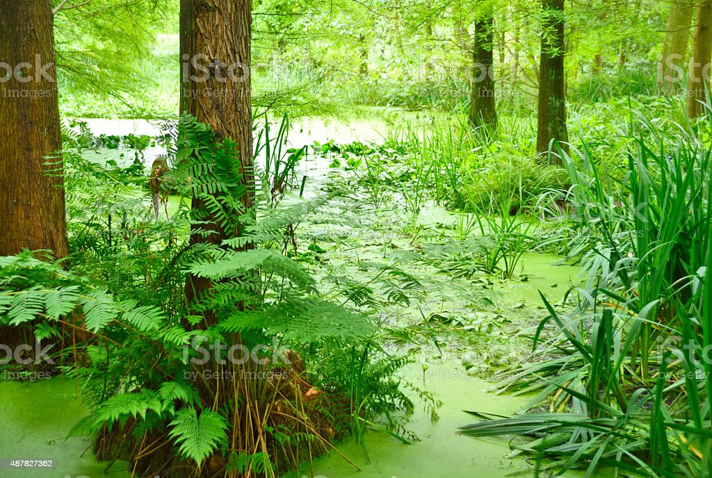 Swamp cypress or taxodium distichum stock photo