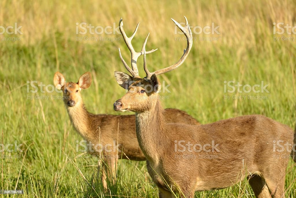 Swamp Deer stock photo