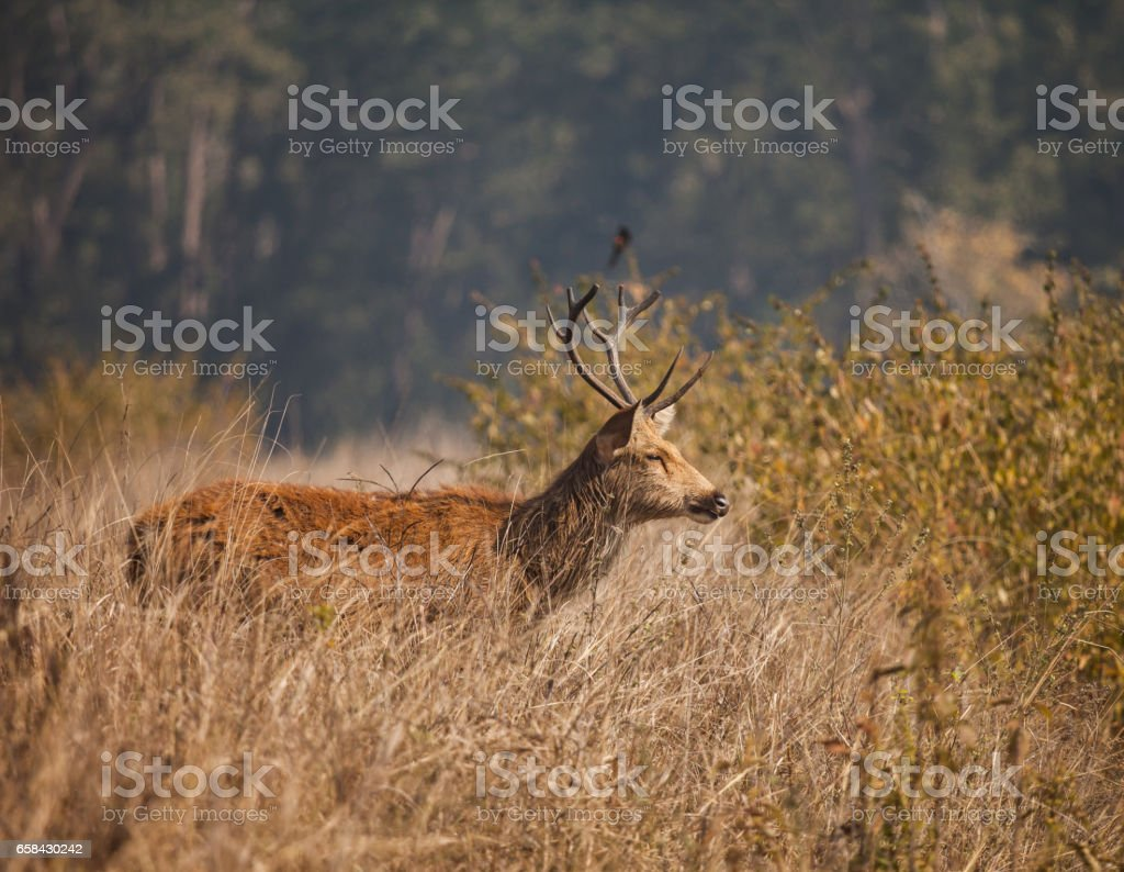 swamp deer stock photo