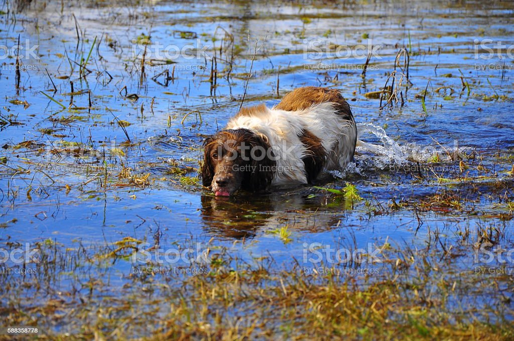Swamp Dog stock photo
