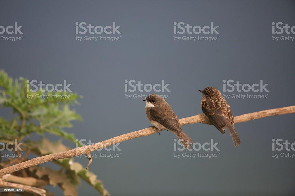 Swamp Flycatcher stock photo